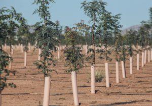pistachio farm in New Mexico