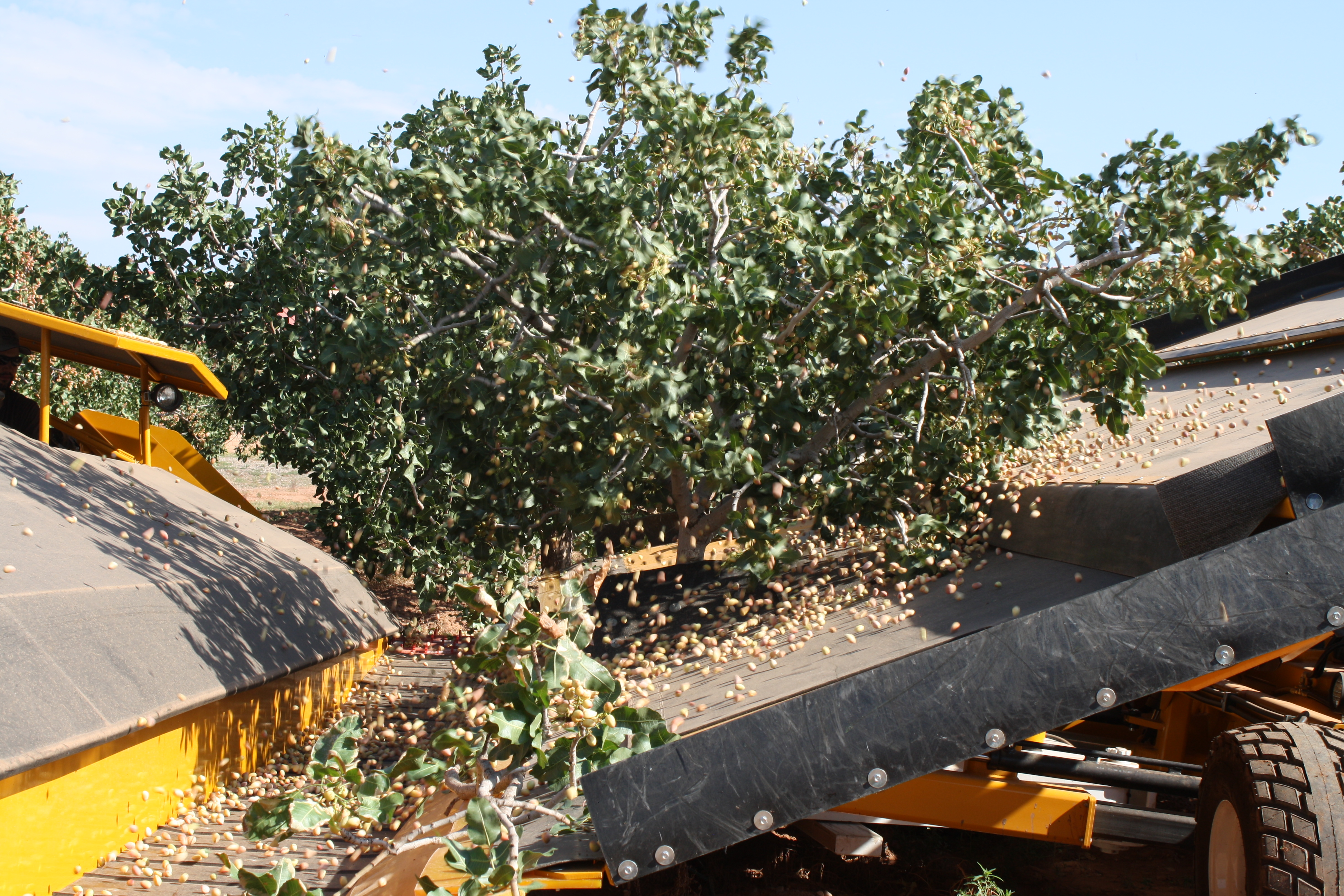 harvesting pistachio plants in New Mexico