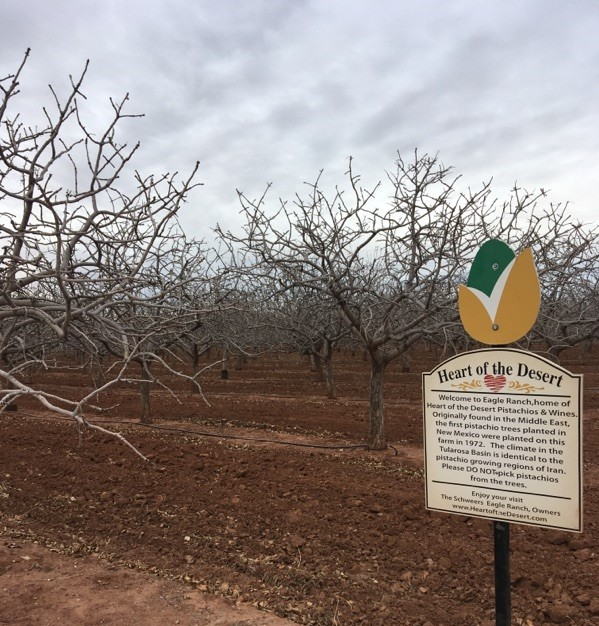 pistachio trees at heart of the desert